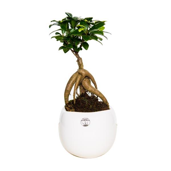 Bonsai ficus ginseng vendita bomboniere online for Bonsai in vendita online