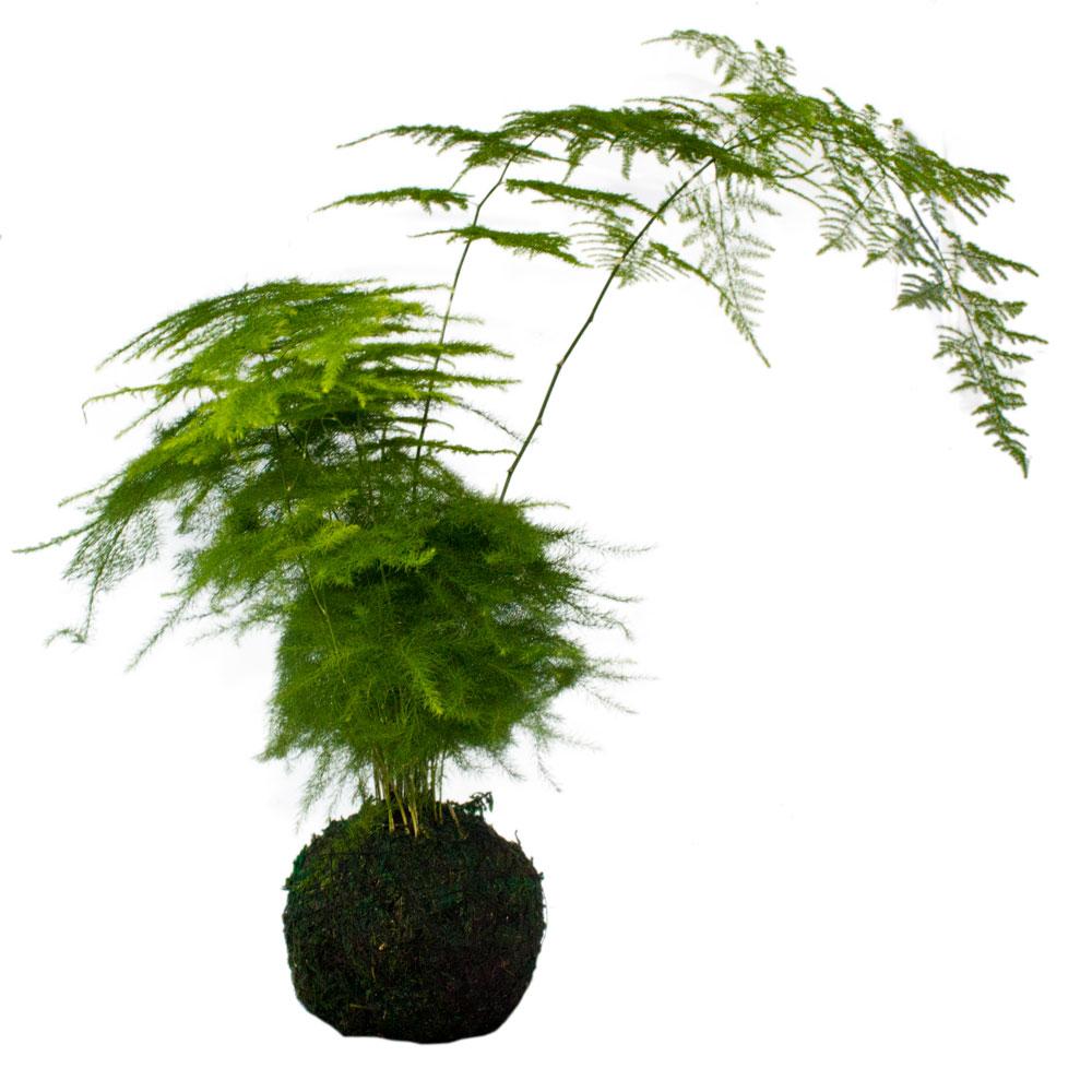 Kokedama giapponesi kgpsmix kokedama giapponese piante for Piante da sottobosco