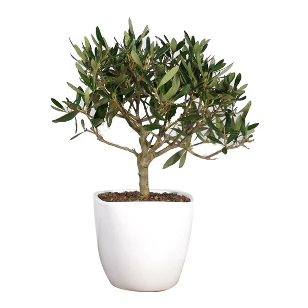 bonulivo_bonsai_ulivo_vaso_grees_mix